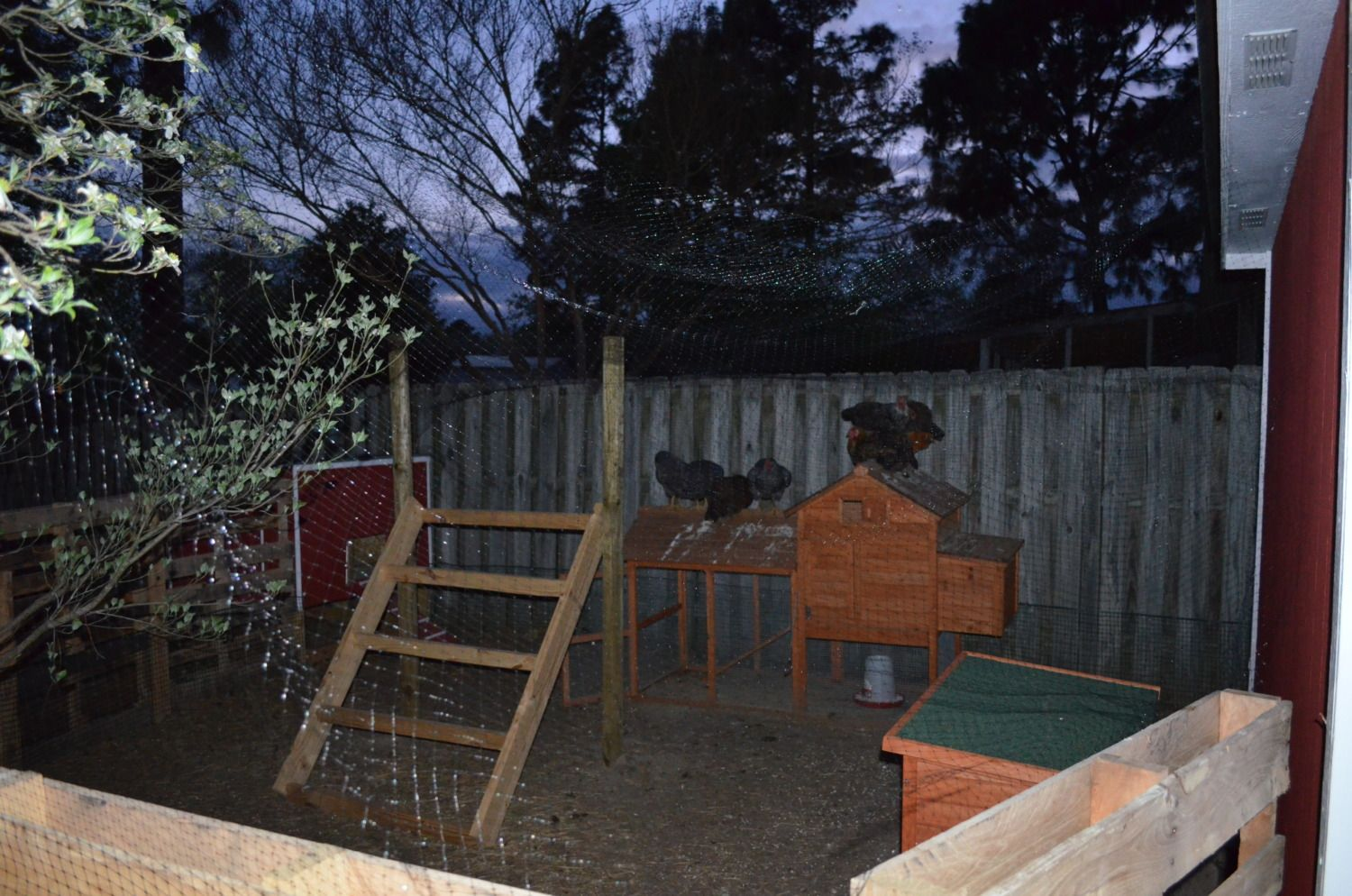 do your chickens sleep outside when it u0027s warm backyard chickens