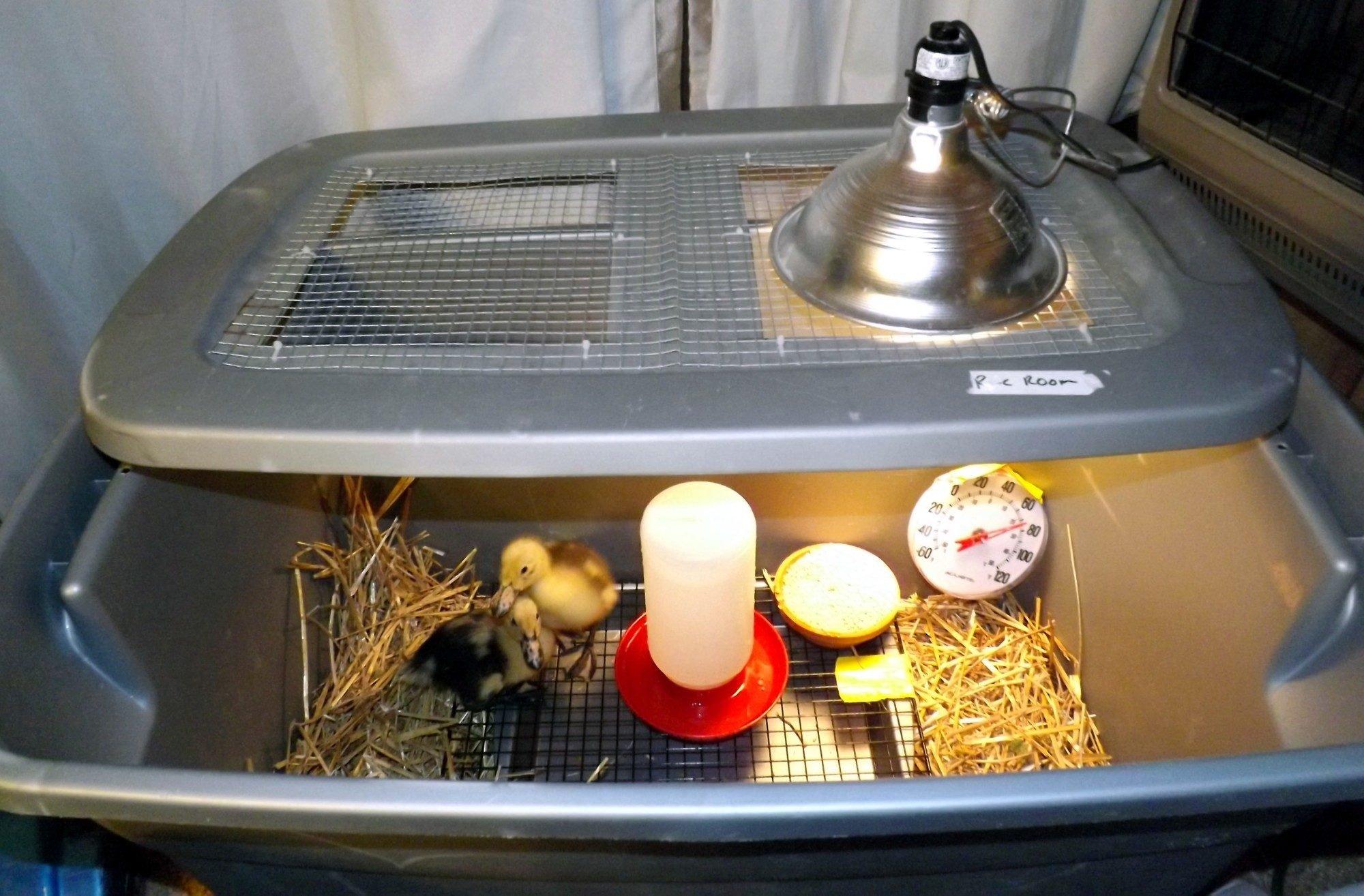 Hatching Eggs 101 Backyard Chickens Community