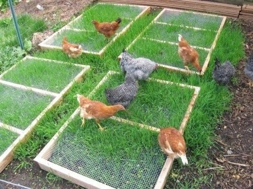 What plants should i plant in my chicken coop backyard chickens for What should i plant in my garden