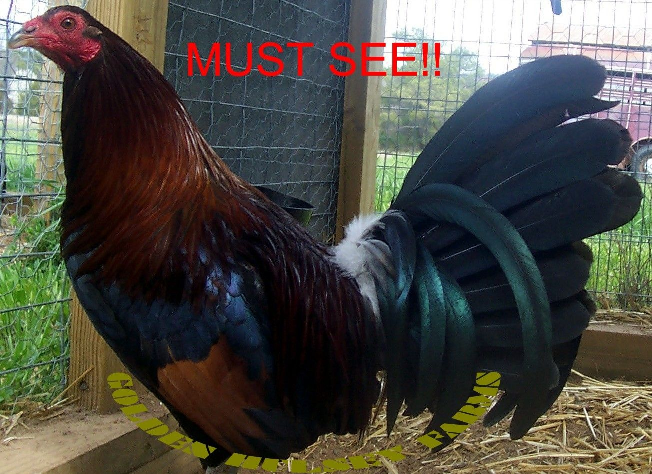 new pictures from golden hulsey farms backyard chickens