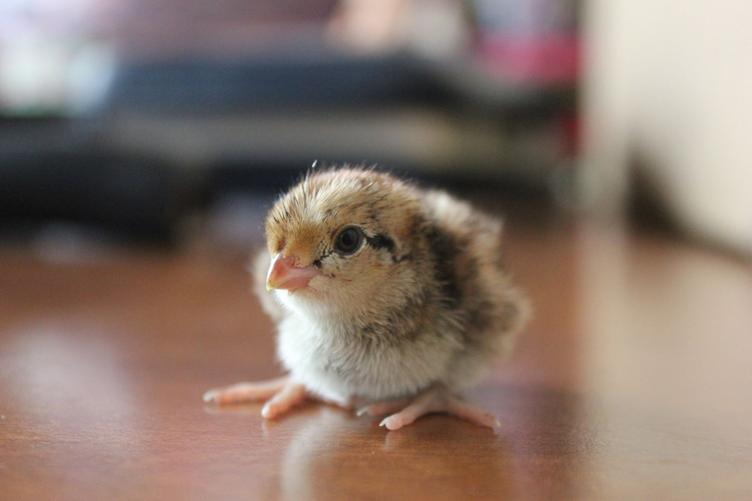 Pictures Of Your Baby Quail Backyard Chickens