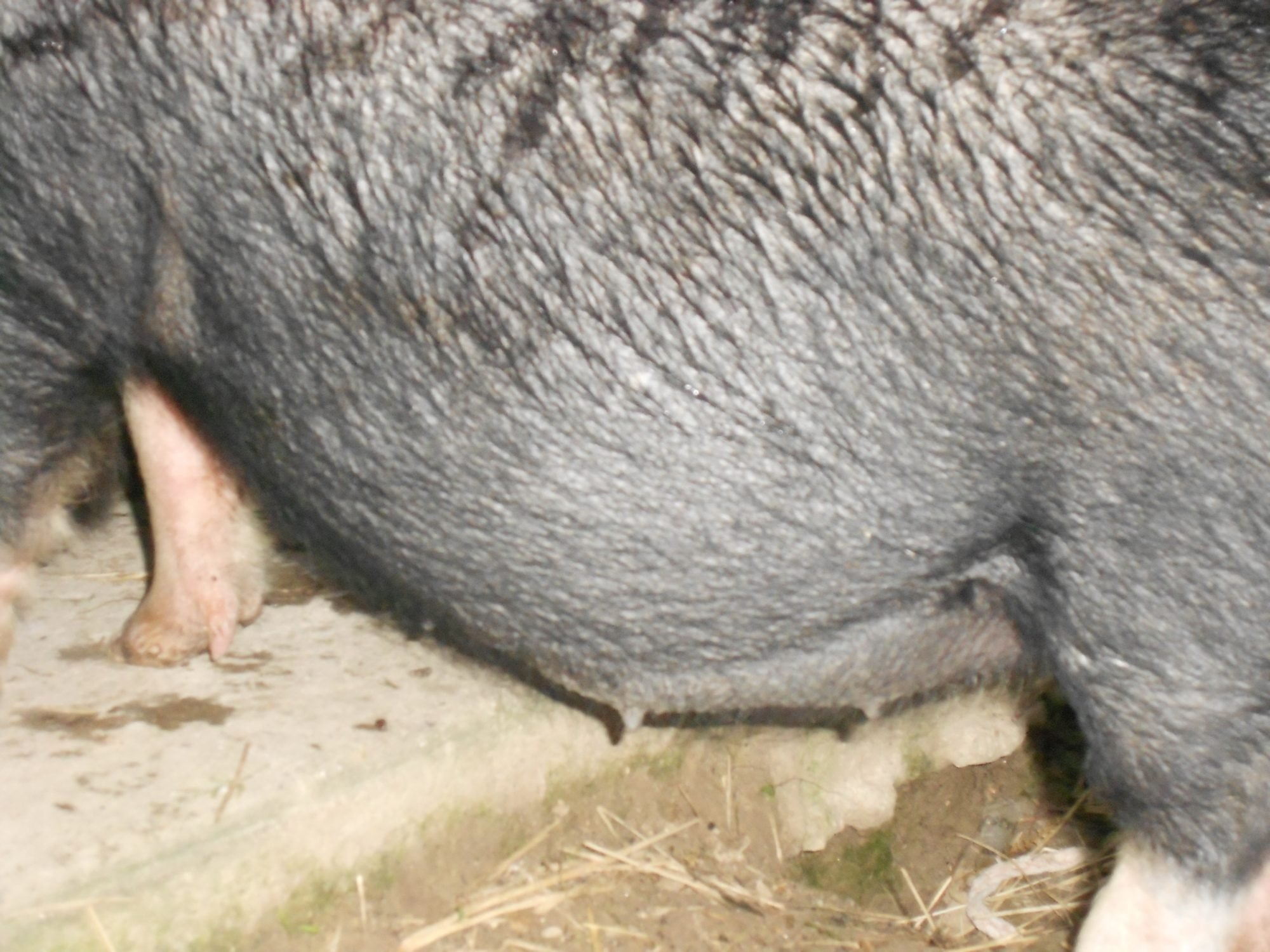 is my pot belly pig pregnant backyard chickens