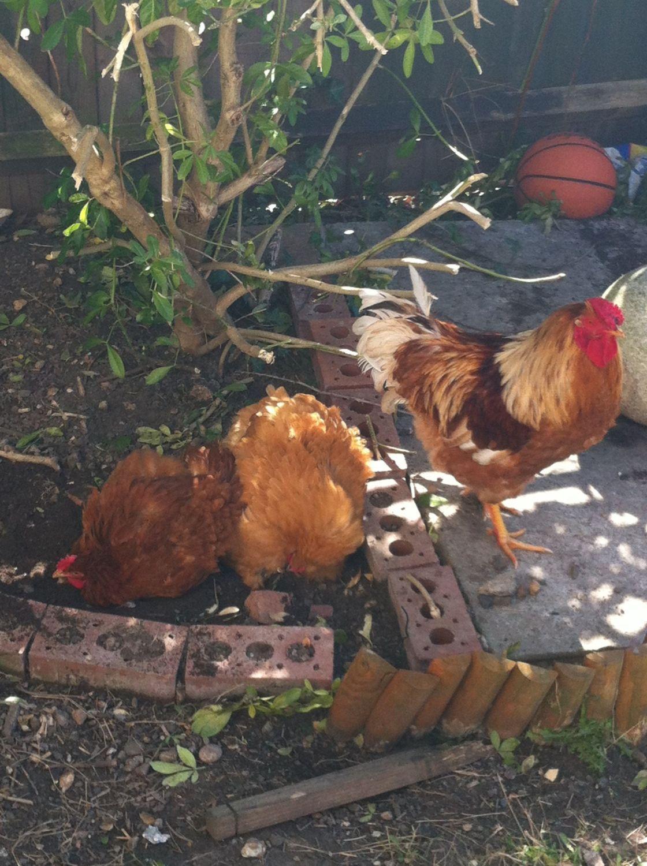 Buff Orpington hen brooding | BackYard Chickens - Learn ...