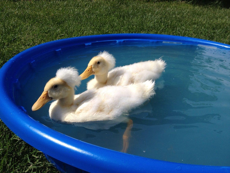 pekin duck club page 72 backyard chickens