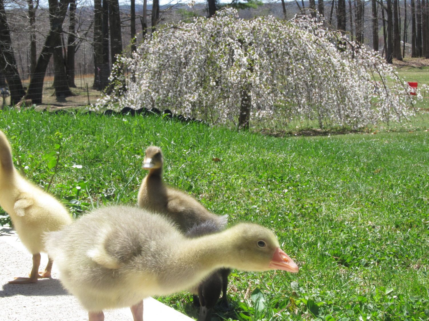 goosey and friends 002.JPG