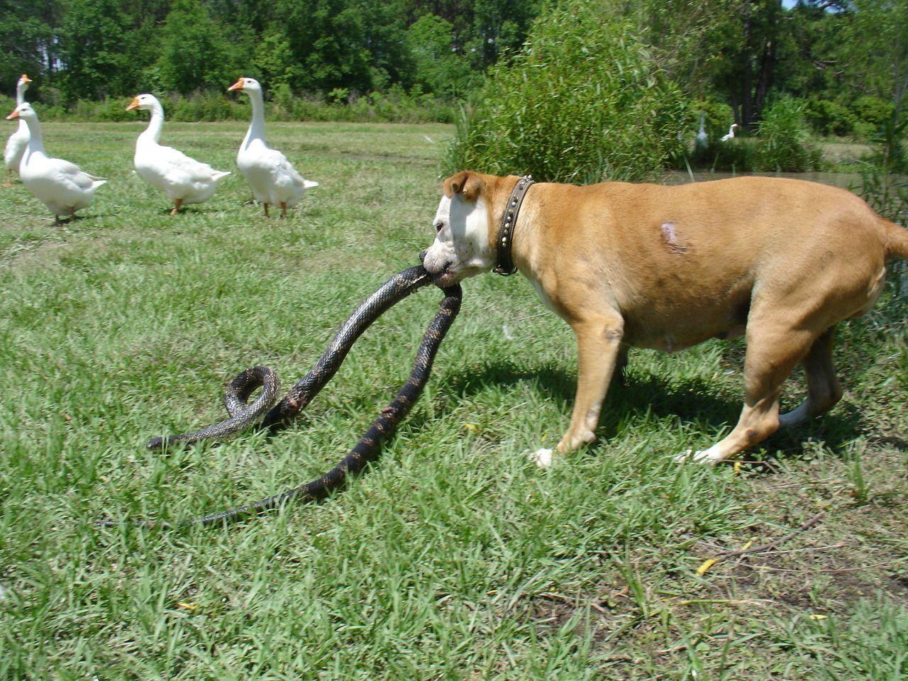 Best Dog For Killing Snakes