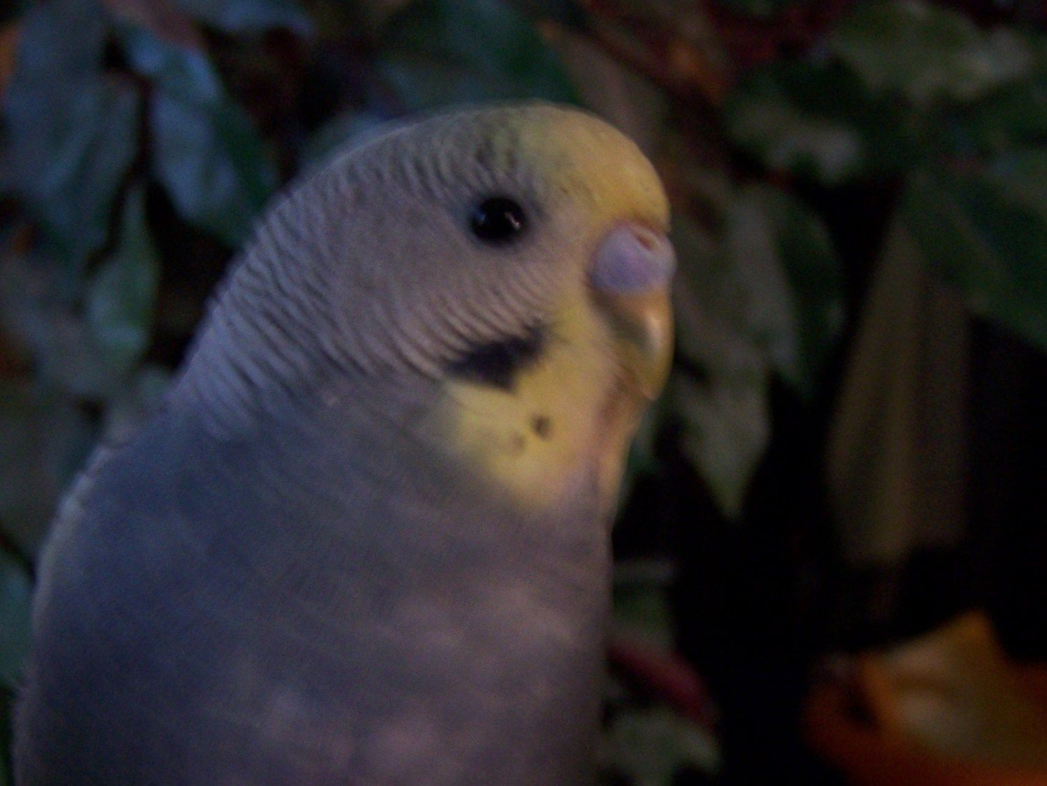 What type of Parakeets does Petco sell (I know, don't judge
