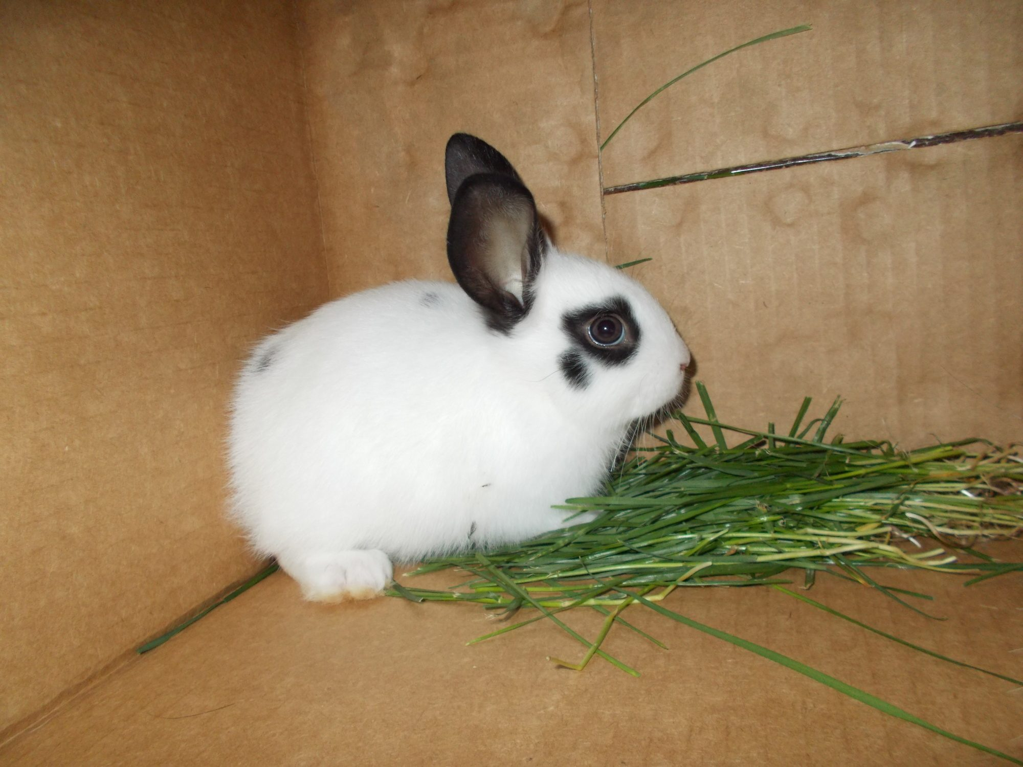 rabbit breed questions backyard chickens