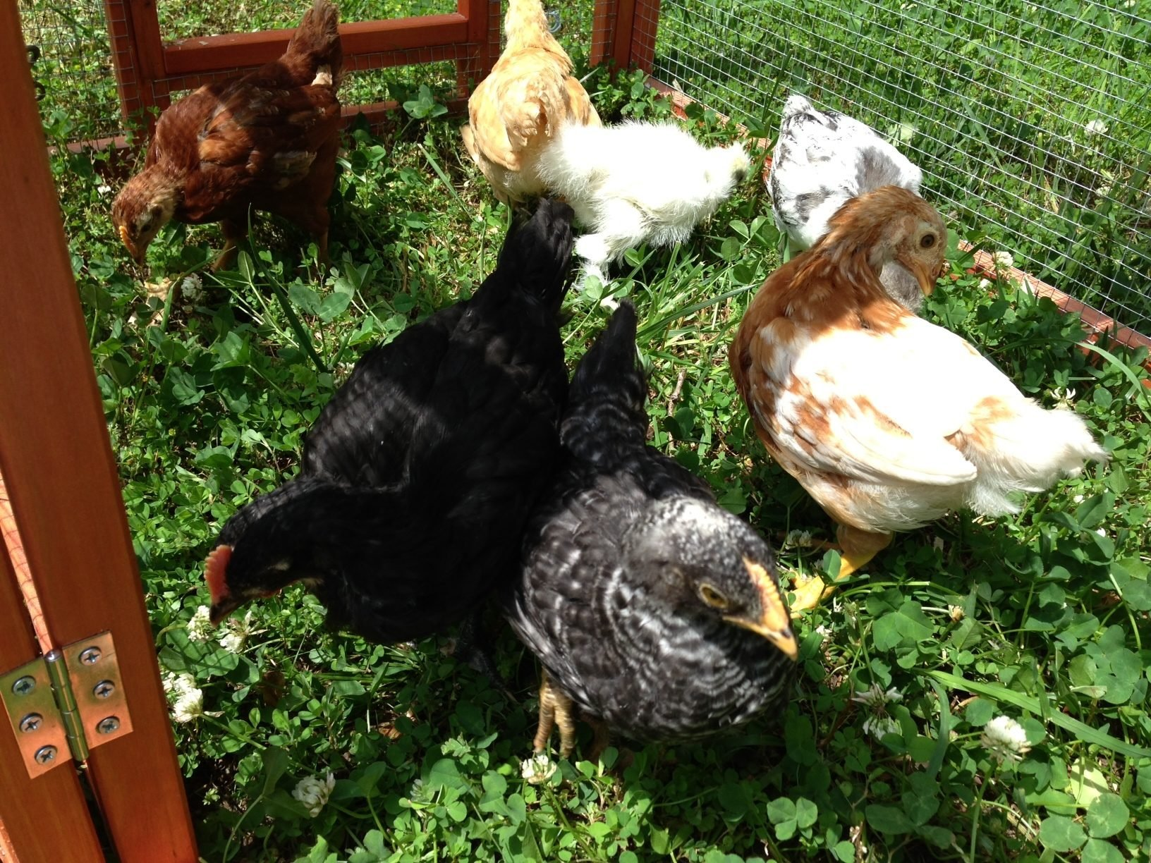 hi from east tennessee mom of 4 weeks old black australorp