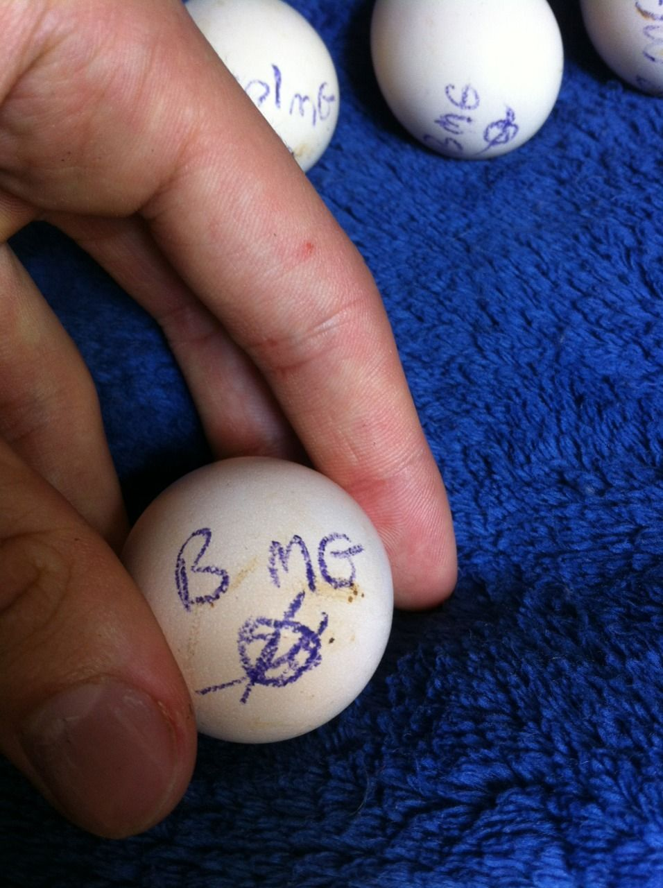 modern game bantam eggs came hatching buddies backyard chickens