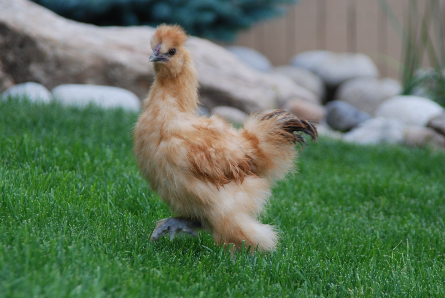 2 chickens in need of new home in castle rock colorado area