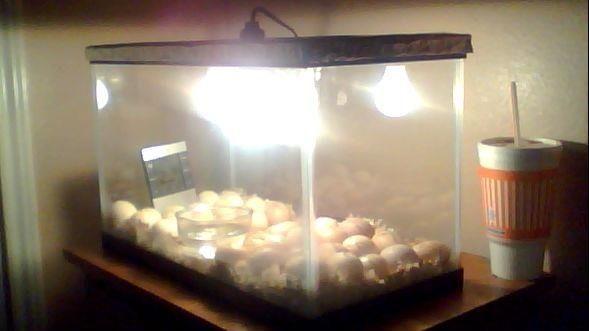 evolution of my incubators backyard chickens