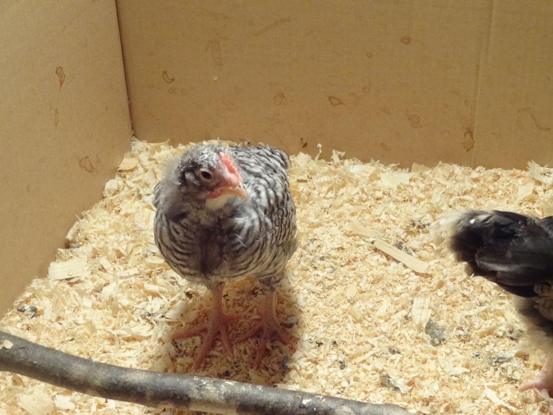 5 week old barred rock cockerel or pullet backyard chickens