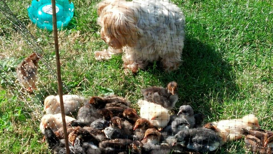 *5-Blue Wyandotte Chicks- f , 5-Buff Orpington Chicks f- 5-Speckled Sussex Chicks f 5-Cuckoo Maran Chicks f - 5-Golden Laced Wyandotte f and 5 m this my first attempt with chickens just learning...My yorkie Zack thinks he is a chicken herder....