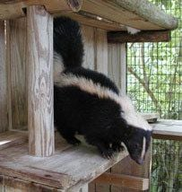 For More Information And Discussions On Skunks And How To Protect Your  Flock See The Predators And Pests Section On The Forum.