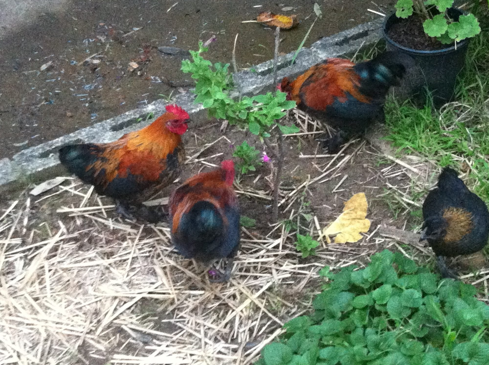 what type of chicken breeds are my chickens backyard chickens