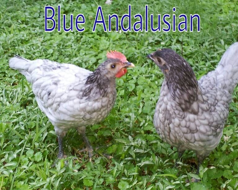 Blue Andalusian Mcmurray 34