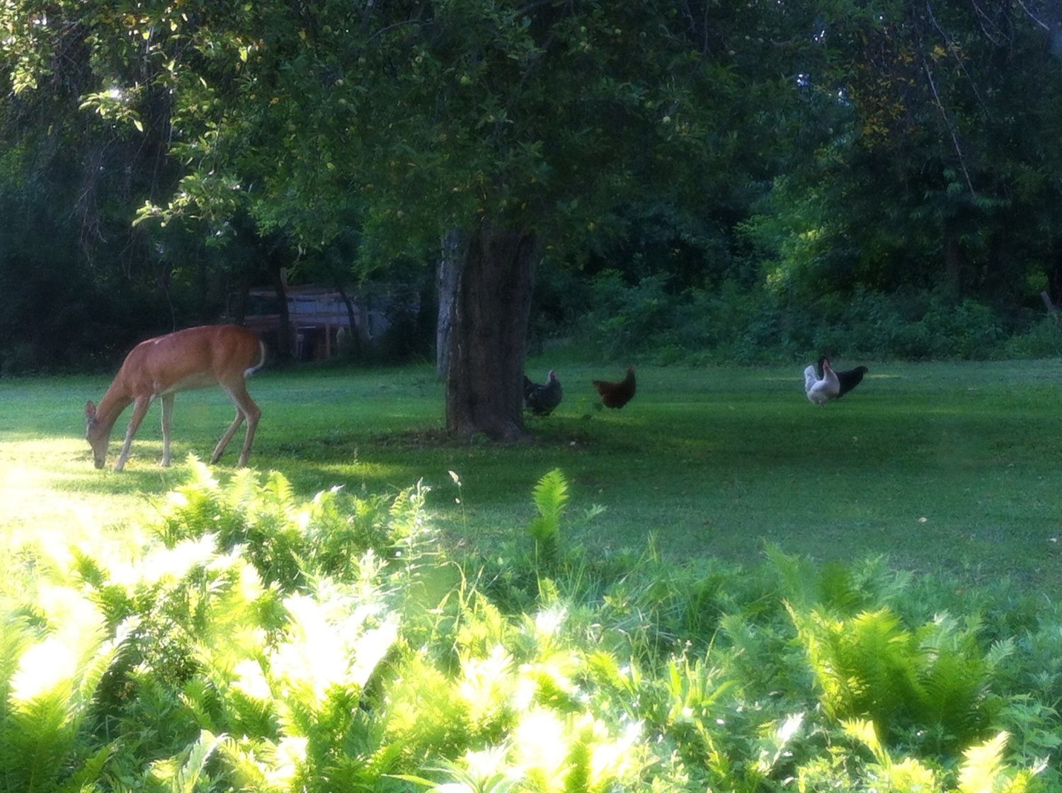I just thought I would share this picture covering all the potential food in my back yard all concentrated into one place. A large deer standing under an apple tree with my chickens right next to it all. Who has a recipe that includes eggs, venison, chicken and apples?