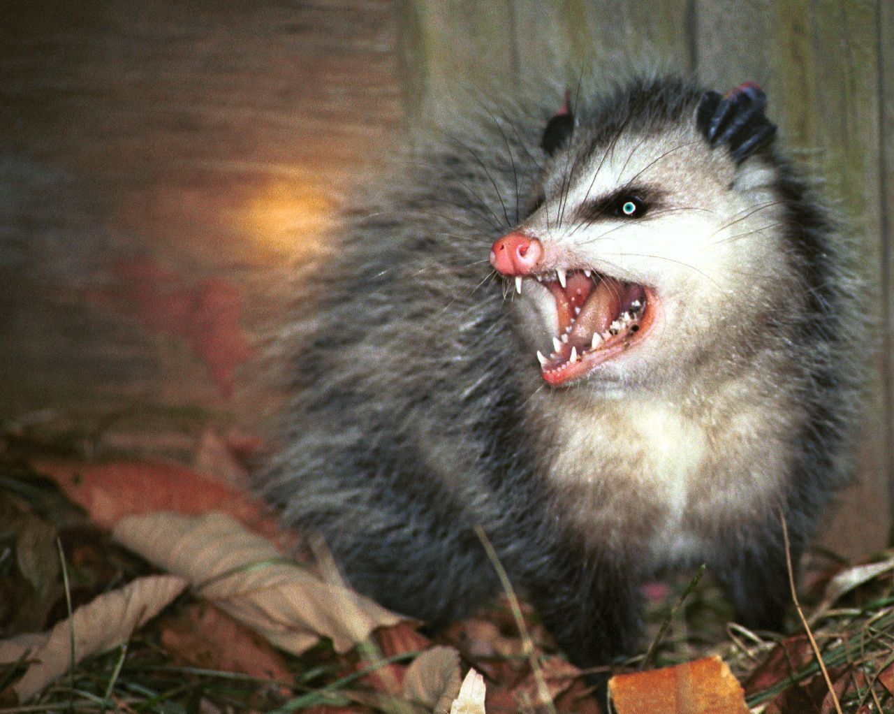Bon Fancychocklady, To What Address Do You Want Me To Send Your Complimentary  Possum?
