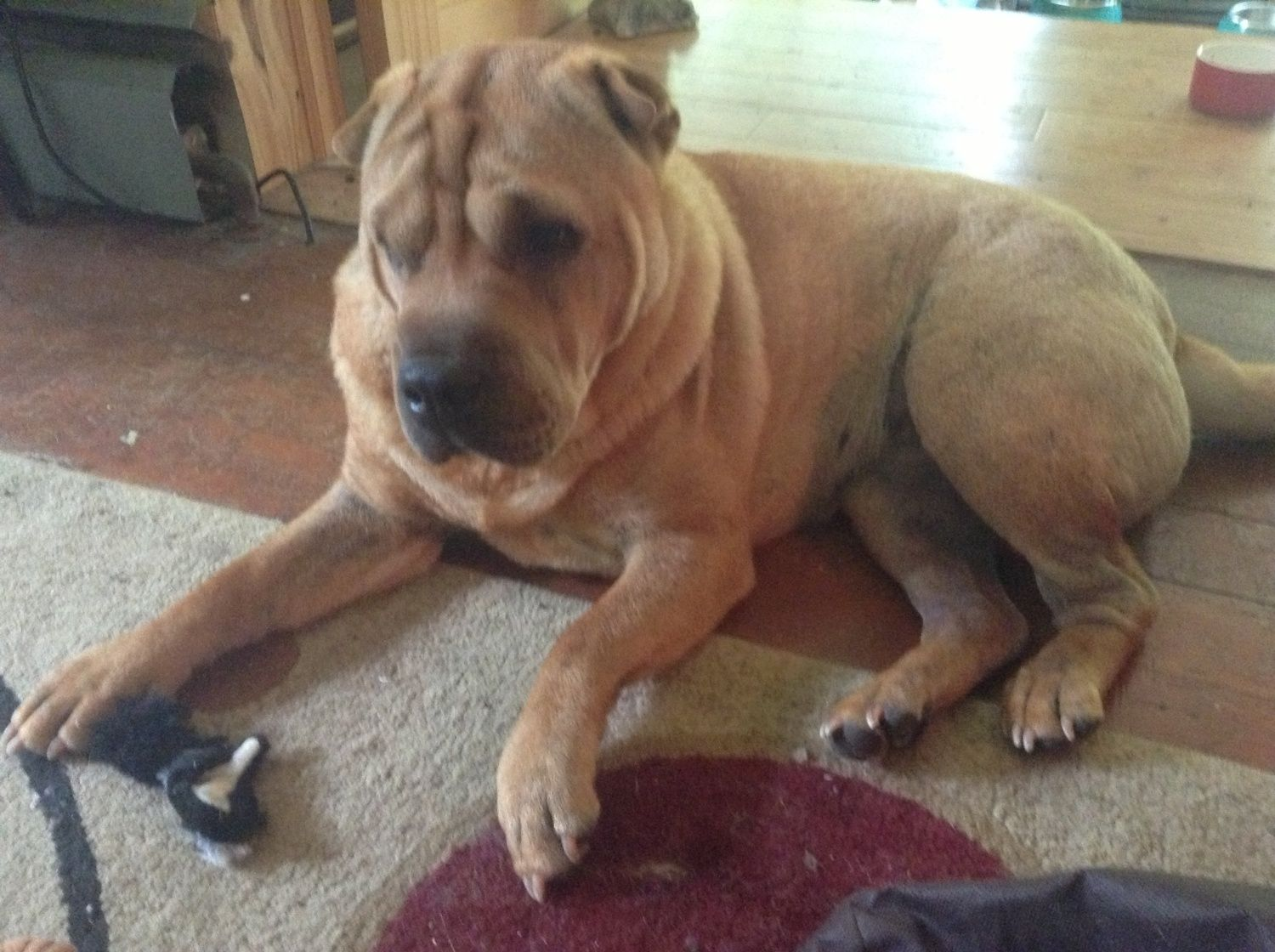 Post pics story of your pitbulls and pit mixes page 18 for Shar pei puppies for sale craigslist