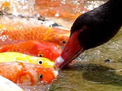 Koi and duck for Feeding koi fish