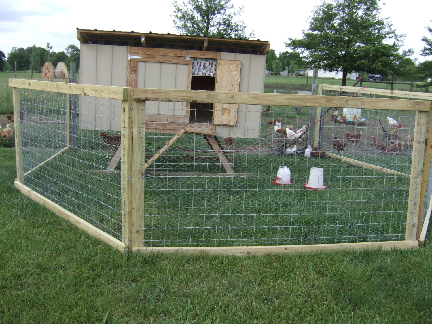 starting to let my chickens free range backyard chickens