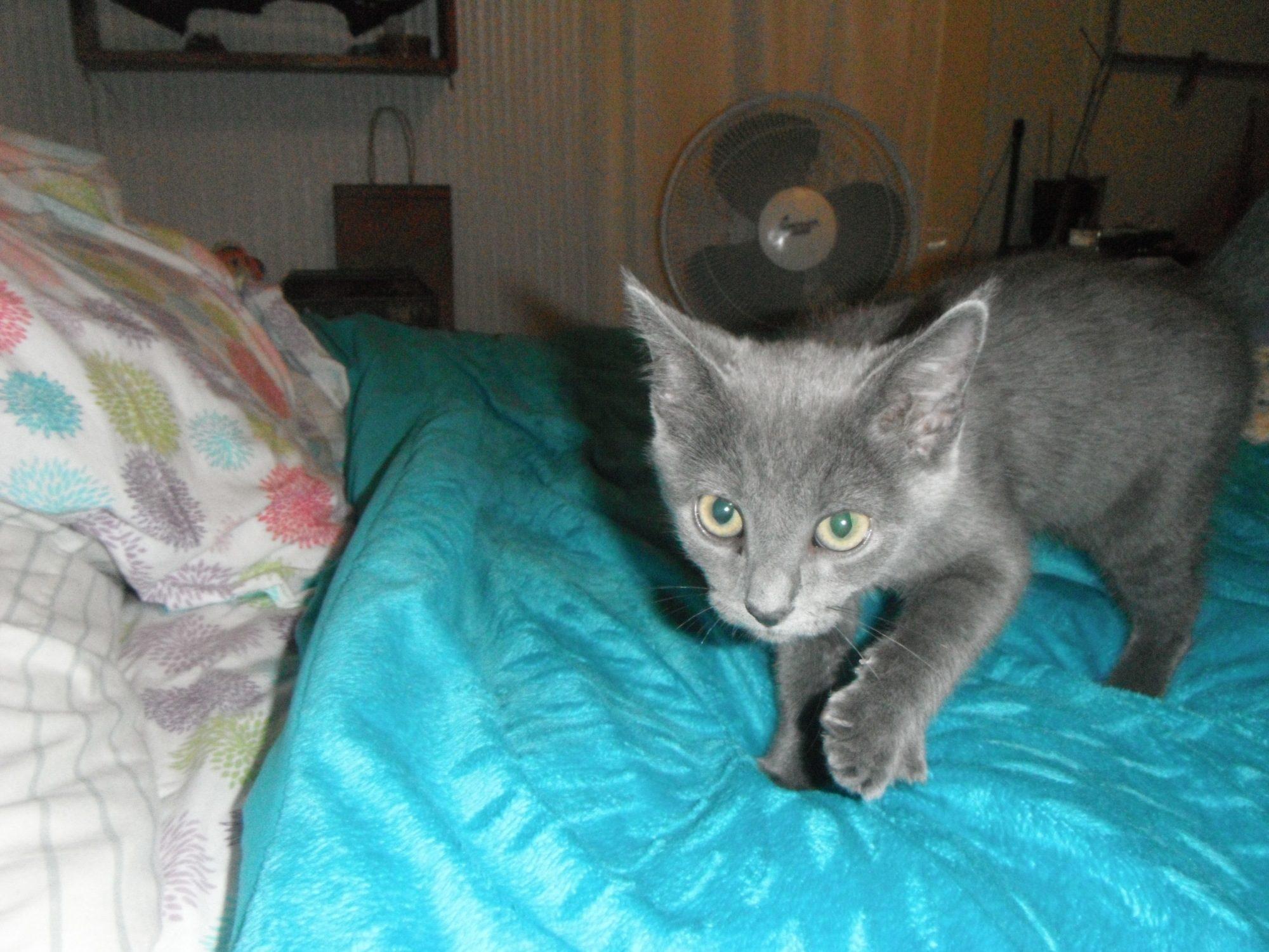 Pro s and Con s of a Siamese Cat please