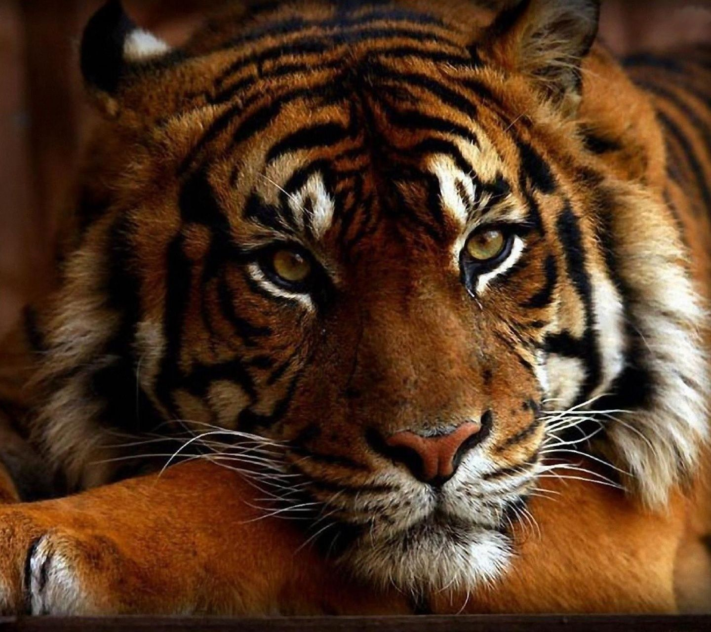 ~Tiger Wars~RP *Accepting Players!*