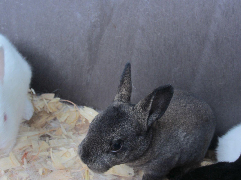 domestic rabbit or wild backyard chickens