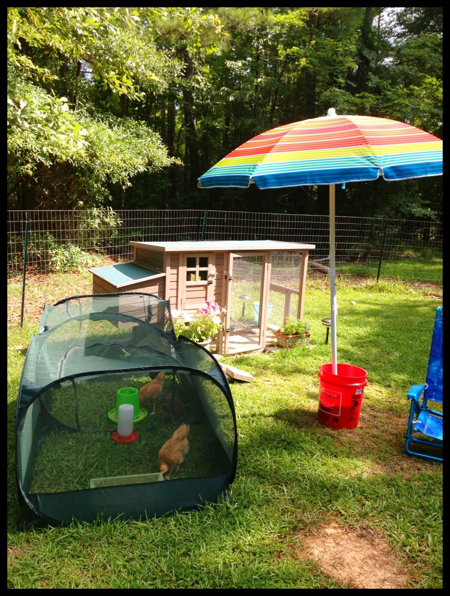 peck and play tent backyard chickens