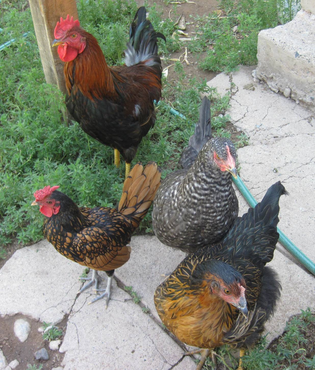 a tale of two roosters backyard chickens