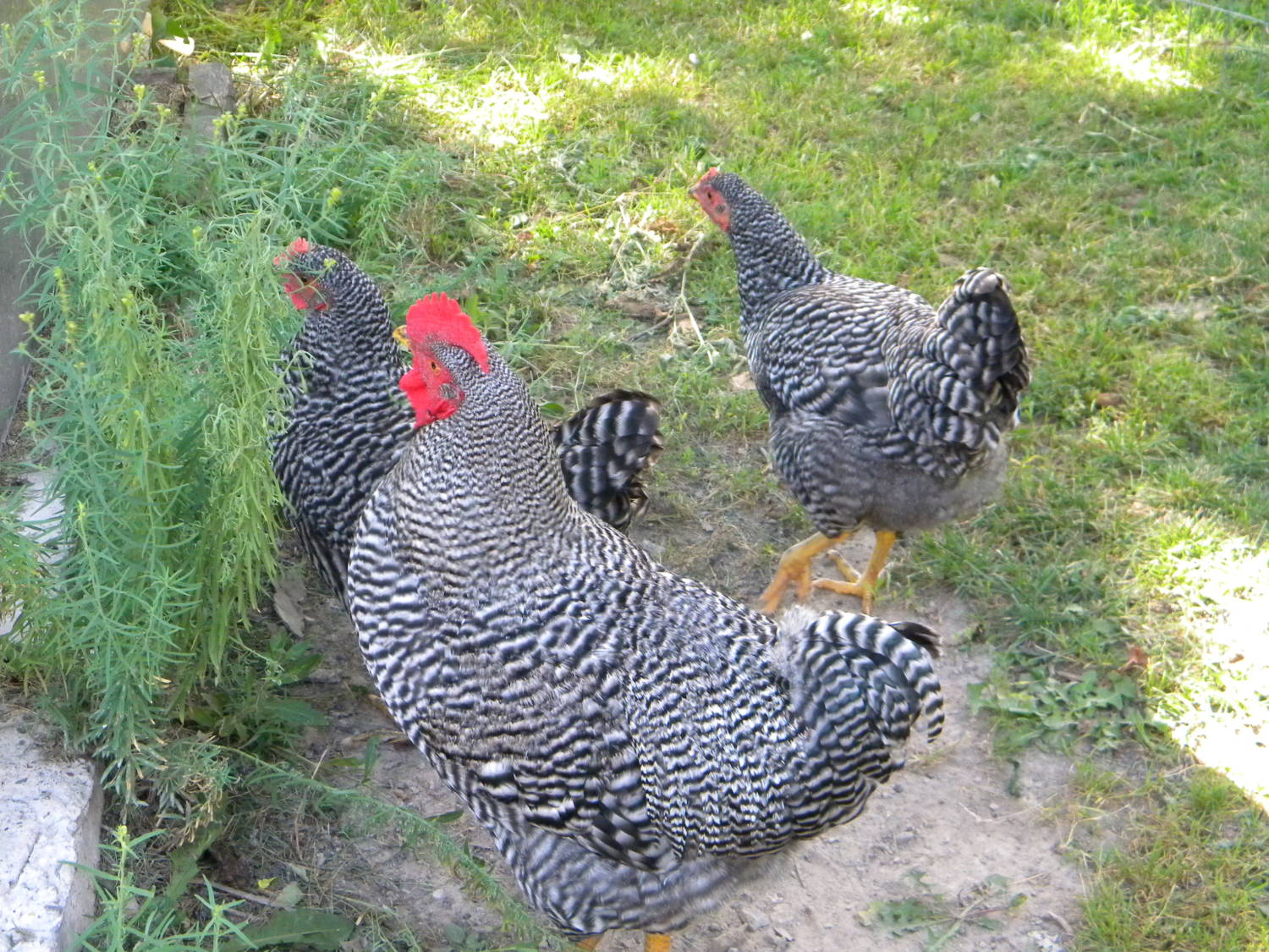barred rock rooster vs hen - photo #35