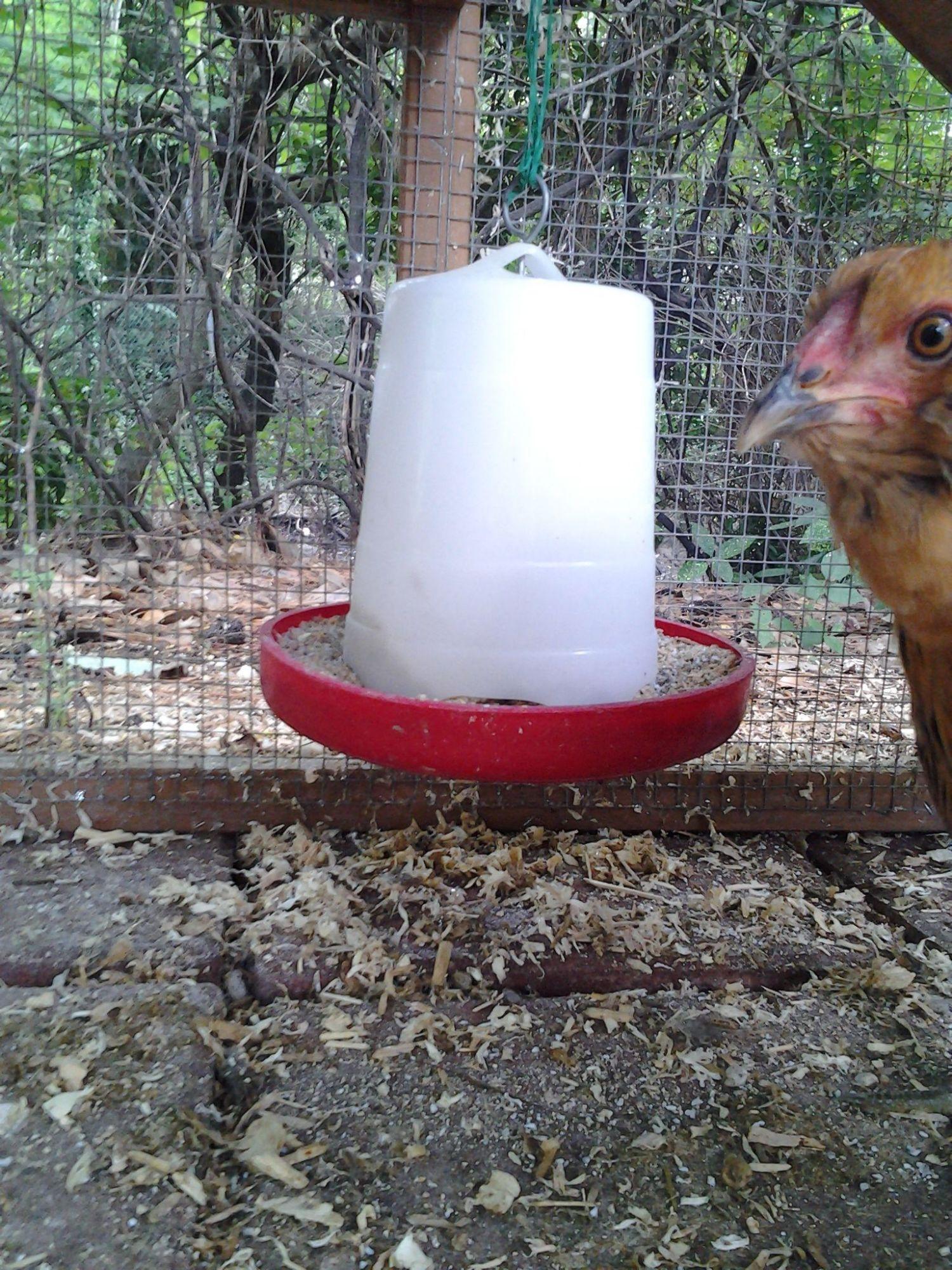 and tricks for raising backyard chickens backyard chickens community