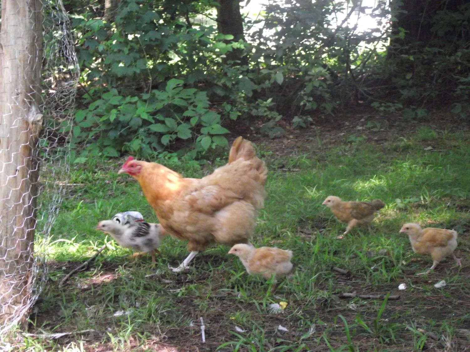 mama and baby pictures thread backyard chickens