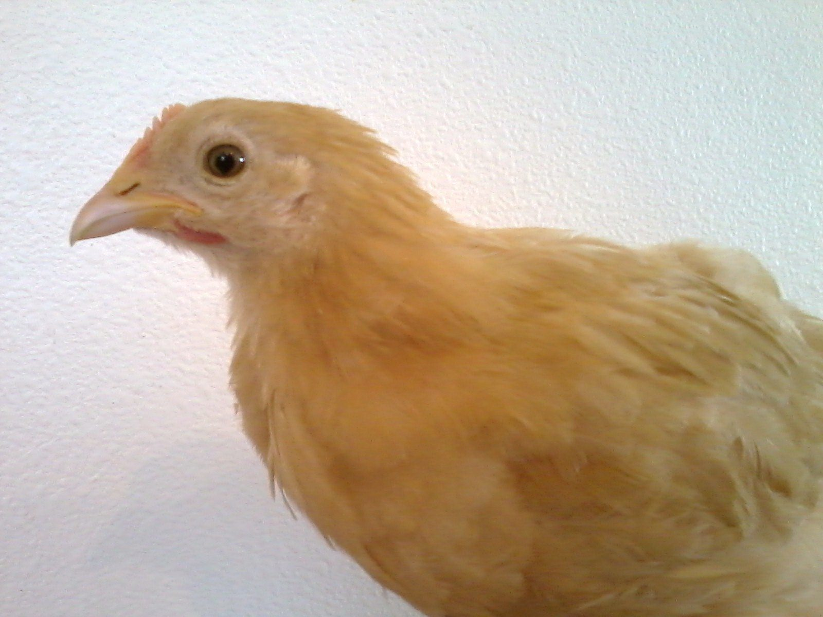 buff orpington 6 weeks old what gender backyard chickens