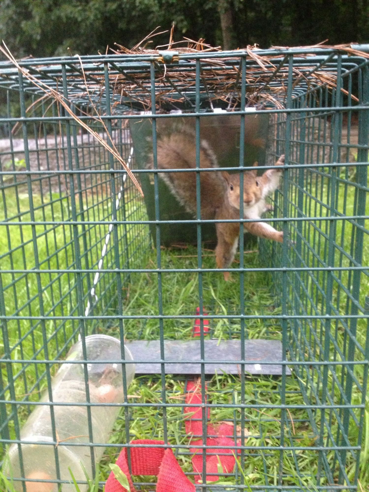 two separate raccoon problems backyard chickens