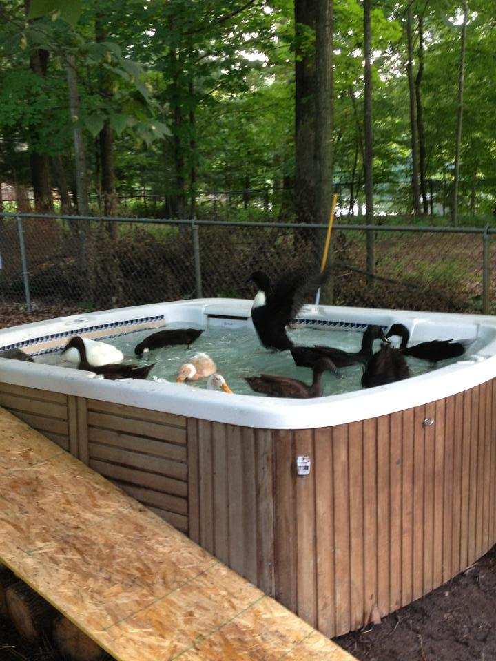 Our new hot tub duck pond backyard chickens for Koi pond tubs