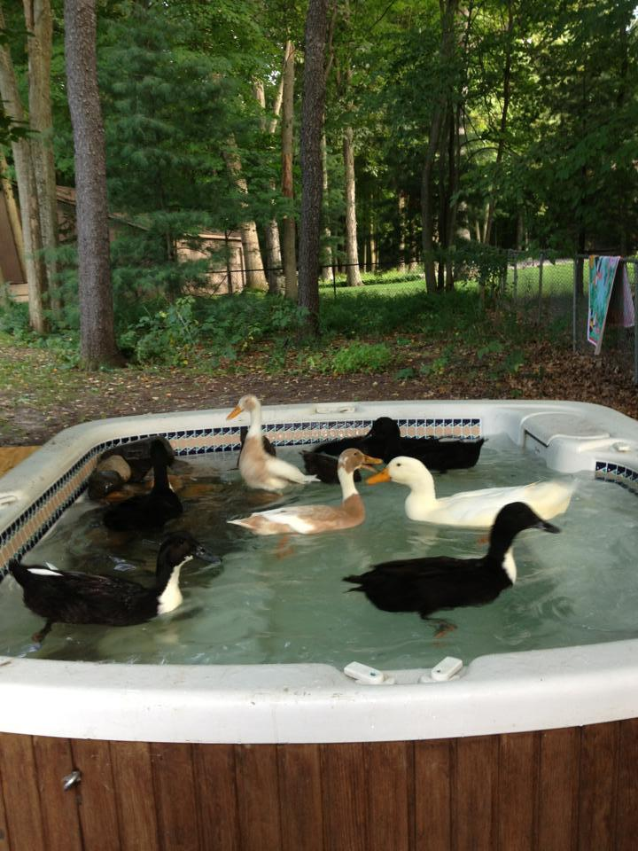 Our new hot tub duck pond for Garden pond tub