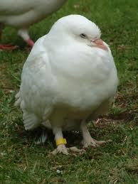 what is the name for this pigeon backyard chickens