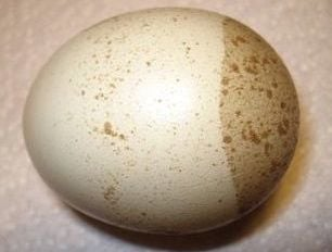 Poultry Egg Quality - Lack of Pigment