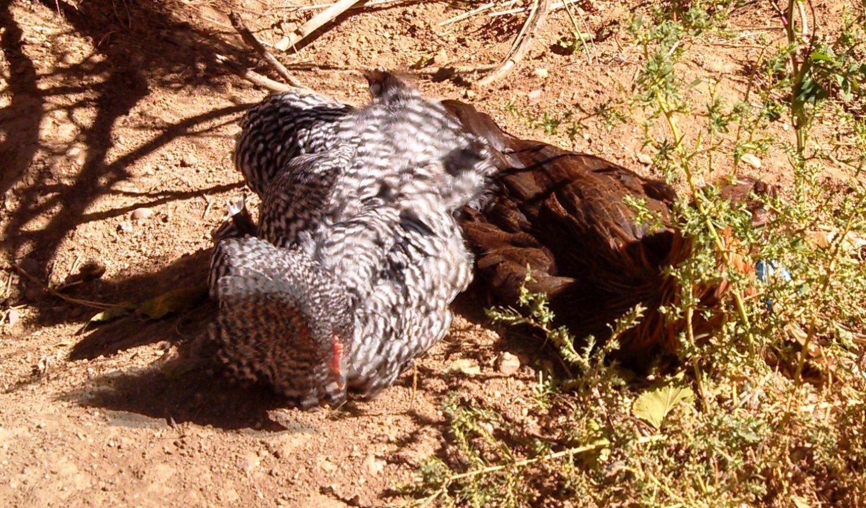 dorky chickens sunbathing backyard chickens