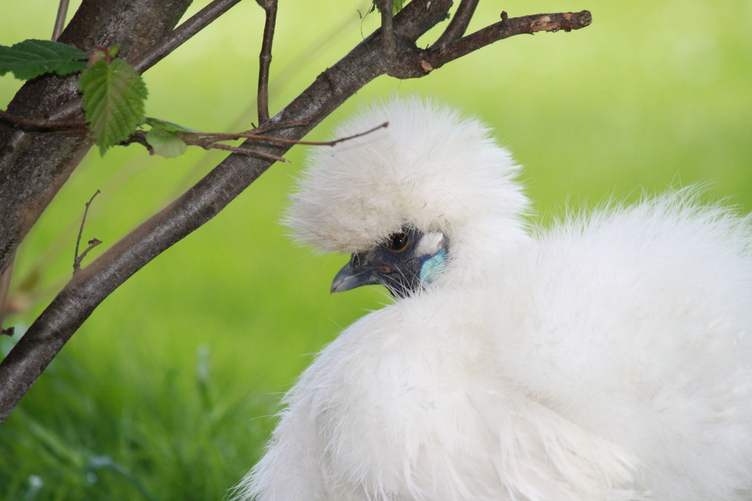 Silkie chicken.