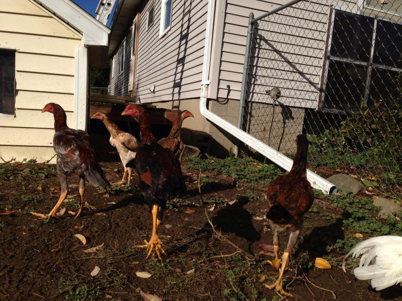 Asil Shamo And Spanish Gamefowl Backyard Chickens