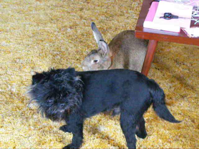 flemish giant rabbit and dog - photo #18