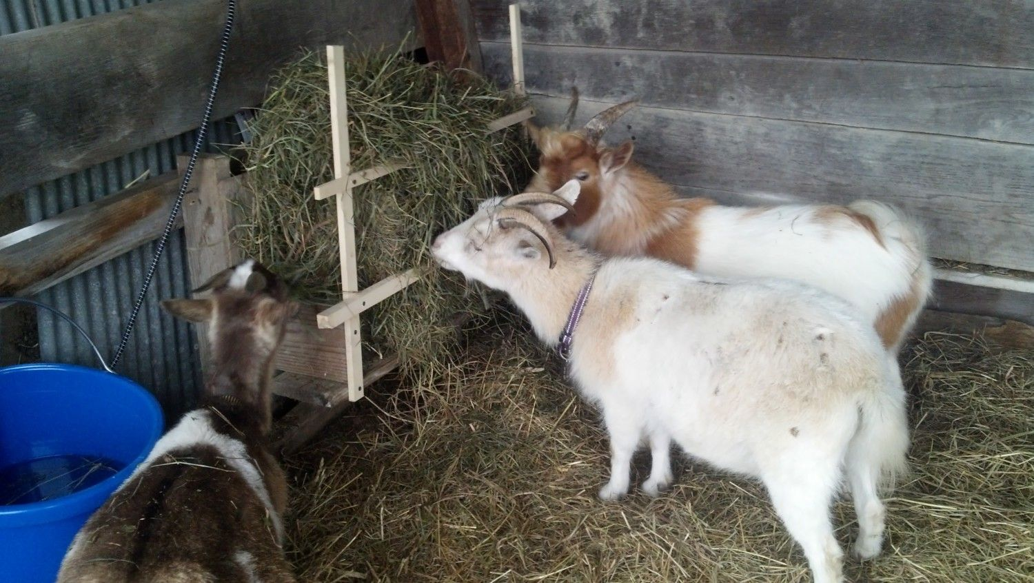 nigerian dwarf goat what does vaginal discharge mean backyard