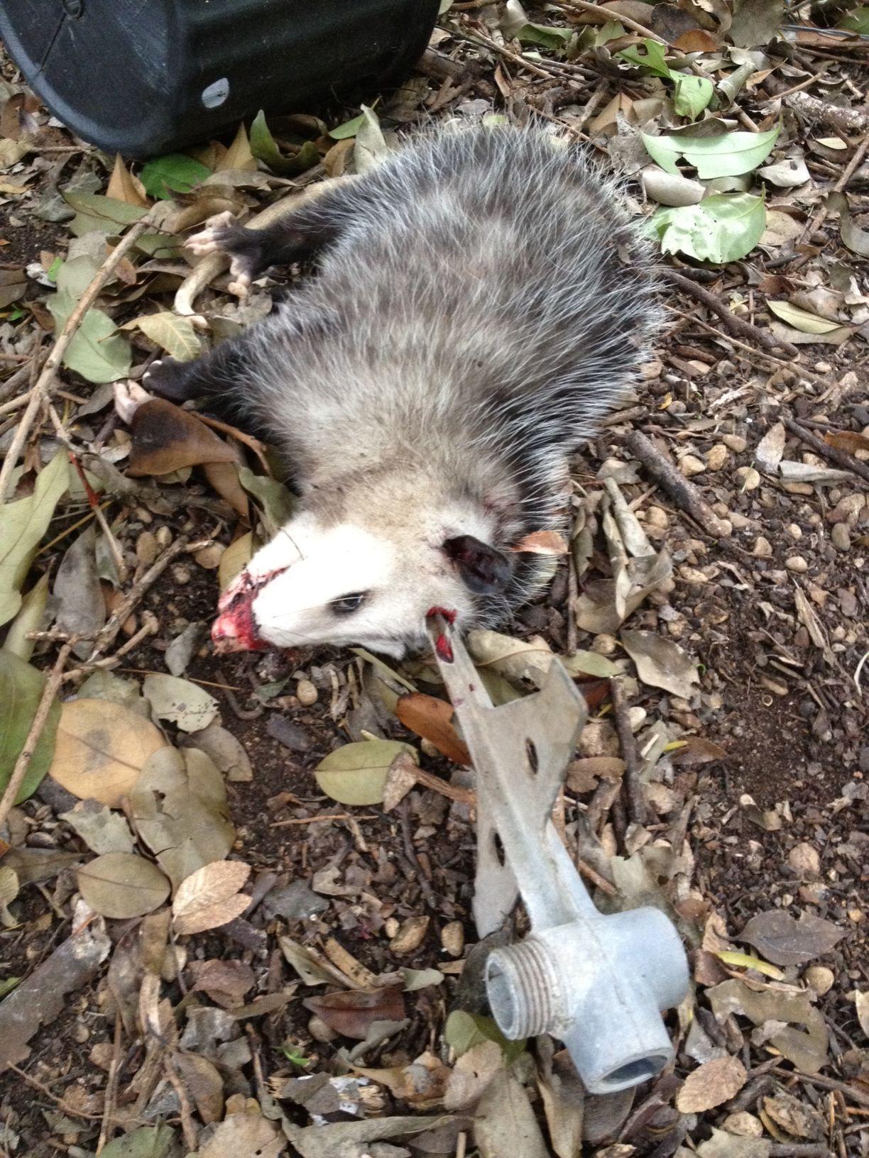 predator possum dispatched before breaking into brooder graphic