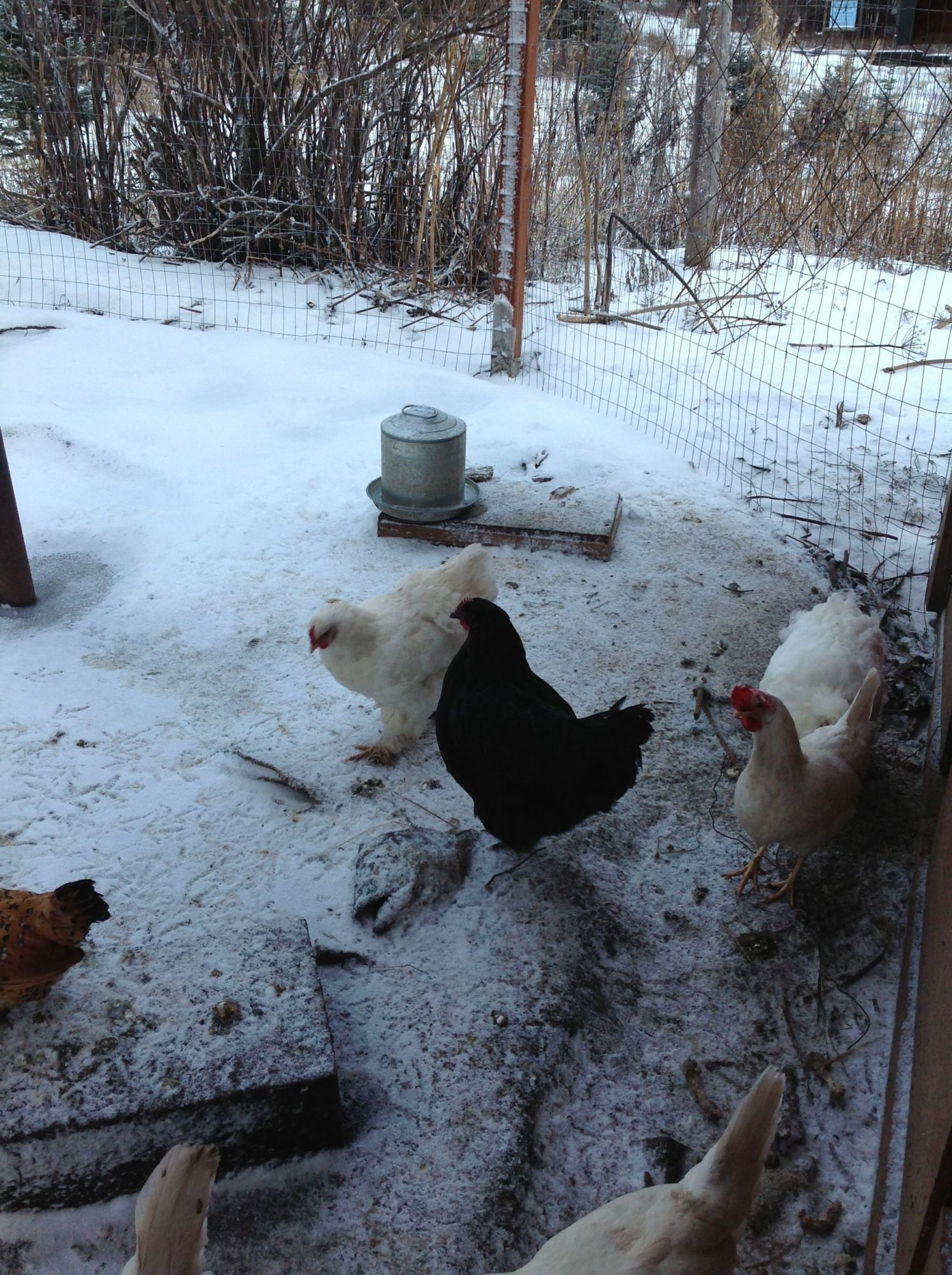 My Coop Journey Backyard Chickens Community