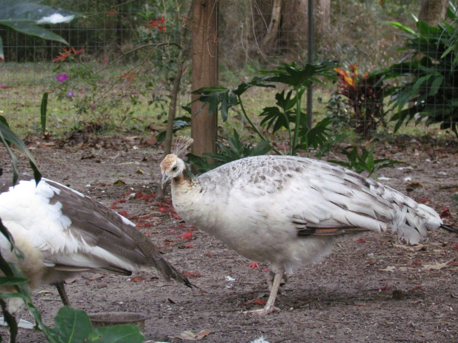 Those Who Need Help In Sexing Peafowl Page 39 Backyard