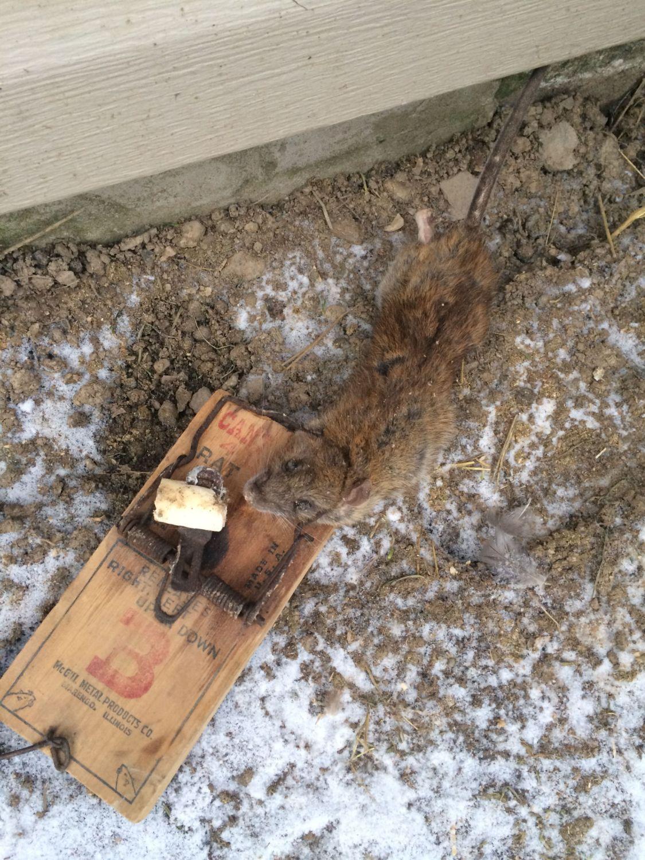 how to set wilson predator mouse trap