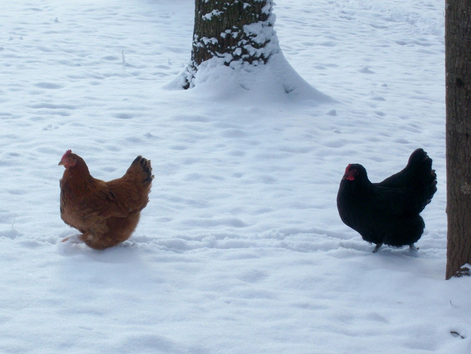 during the winter do you keep food and water inside the coop and